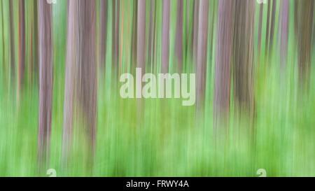 Exemple d'ICM (mouvement de caméra intentionnel) dans une forêt dans le nord de l'Angleterre. Arbres de pin sylvestre Banque D'Images