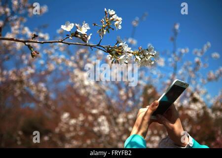(160325) -- BEIJING, 25 mars 2016 (Xinhua) -- un touriste utilise un téléphone cellulaire pour prendre des photos Banque D'Images