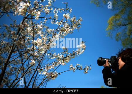 (160325) -- BEIJING, 25 mars 2016 (Xinhua) -- un visiteur prend des photos de cerisiers en fleurs au Parc Yuyuantan Banque D'Images