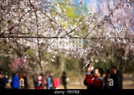 (160325) -- BEIJING, 25 mars 2016 (Xinhua) -- Les touristes voir les cerisiers en fleurs au Parc Yuyuantan à Beijing, Banque D'Images