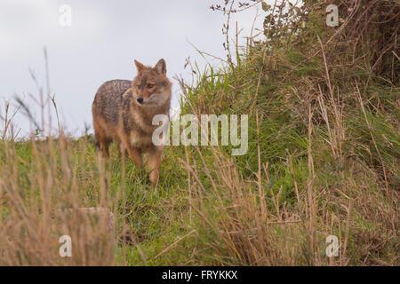 Le chacal doré (Canis aureus), également appelé l'asiatic, oriental ou chacal commun, Israël