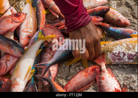 Hand Reaching for poissons colorés en vente sur un marché aux poissons, Makemo, Tuamotu, Polynésie Française, Pacifique Banque D'Images
