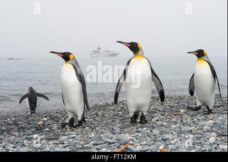 Le manchot royal Aptenodytes patagonicus sur la plage et expedition cruise ship MS Hanseatic Hapag-Lloyd Cruises à l'ancre, la plaine de Salisbury, South Georgia Island, Antarctica