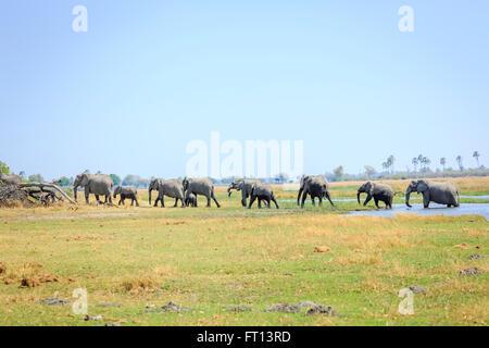 Kalahari safari: Famille (troupeau) de brousse africaine éléphants (Loxodonta africana) de retour de boire à la rivière, Sandibe Camp, Delta de l'Okavango