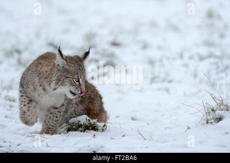 Lynx Boréal / Eurasischer Luchs (Lynx lynx), cute young cub, jouent dans la neige. Banque D'Images