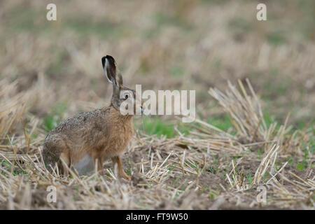 Lièvre brun / lièvre européen / Feldhase ( Lepus europaeus ), attentif, adultes assis sur un champ de chaumes. Banque D'Images