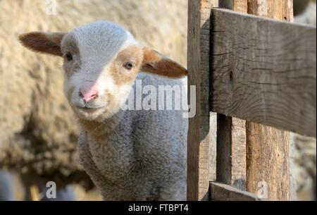 Agneau nouveau-né à la ferme dans le printemps! Banque D'Images