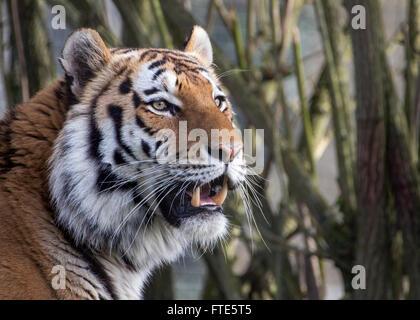 L'Amour (mâle) de Sibérie tiger Banque D'Images
