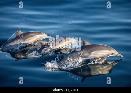 Long-Beaked Dauphin commun Delphinus capensis Banque D'Images