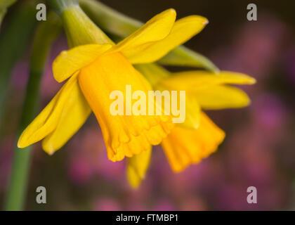 Tete-a-tete jonquilles (Narcissus) avec purple heather à l'arrière-plan Banque D'Images