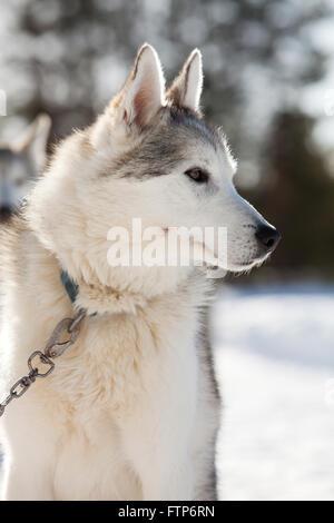 Passez du temps à l'extérieur des Huskies en Laponie, Finlande