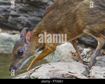 Une timide petite souris Deer de boire à une petite piscine dans la forêt en Thaïlande