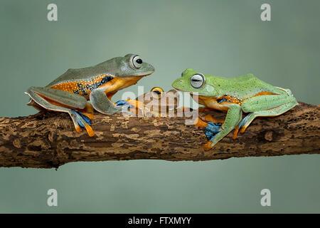 Trois grenouilles d'arbre assis sur branche, Indonésie Banque D'Images