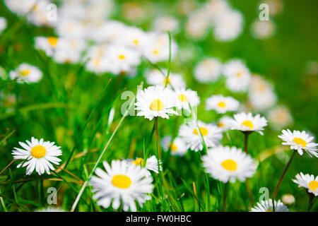 Fleurs de camomille sauvage sur un champ. faible profondeur de champ Banque D'Images