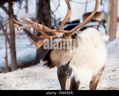 Le renne avec de grands bois en Laponie finlandaise