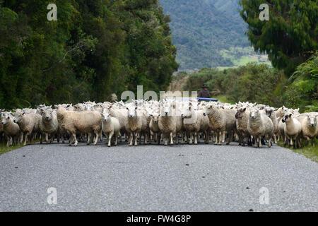 Un travailleur agricole non identifié une foule de troupeaux de moutons le long d'un backroad sur la côte ouest, Banque D'Images