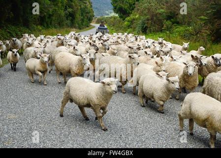 Un travailleur agricole un troupeaux de moutons le long d'une populace backroad sur la côte ouest, Nouvelle-Zélande Banque D'Images