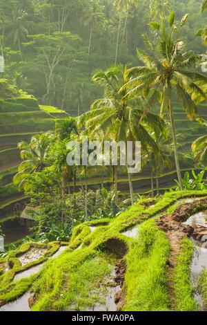Belles terrasses de riz dans le moring lumière près de village de Tegallalang, Ubud, Bali, Indonésie. Banque D'Images