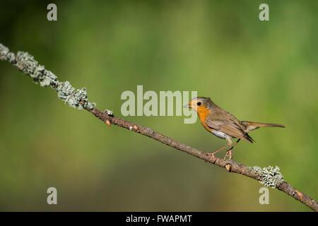 Rougegorge familier Erithacus rubecula aux abords, adulte, perché sur une branche de Woodland, Lakitelek, Hongrie, Banque D'Images