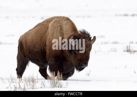 Bison (Bison bison) dans la neige, Lamar Valley, le Parc National de Yellowstone, Wyoming, Montana, USA
