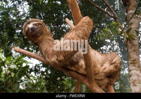 Un ours grimpa à un arbre dans une forêt primaire à la forêt amazonienne, près de Iquitos, Loreto, le Pérou. Des Banque D'Images