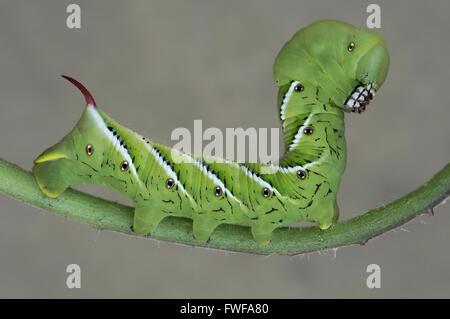Papillon Sphinx de la tomate ou Five-Spotted caterpillar sphynx, larves, (Manduca quinquemaculata) sur plant de Banque D'Images