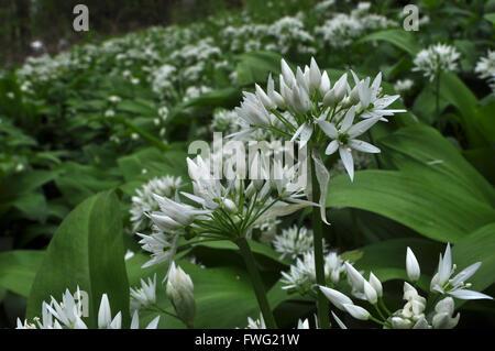Ramsons Allium ursinum ail sauvage Banque D'Images