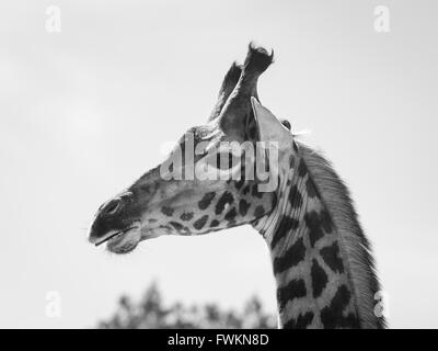 Image en noir et blanc de la tête de Girafe (Giraffa camelopardalis) contre le ciel en Parc National d'Arusha, Tanzania, Africa