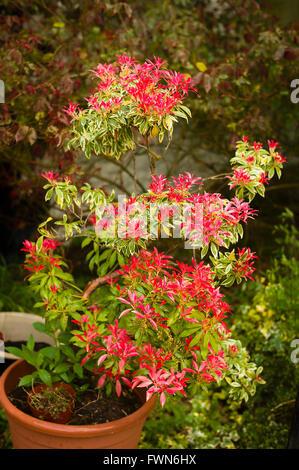 Pieris japonica Flaming Silver montrant de nouvelles feuilles rouges au printemps Banque D'Images