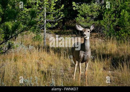 WY01454-00...WYOMING - une mule deer paissant dans une prairie près du lac de chaîne dans le Grand Teton National Banque D'Images