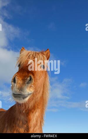 Cheval islandais (Equus ferus caballus / Equus Scandinavicus) portrait par gros manteau d'hiver sur l'Islande Banque D'Images