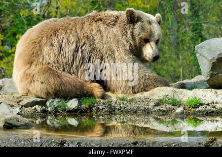Libre de Grizzli (Ursus arctos horribilis) près de pond Banque D'Images