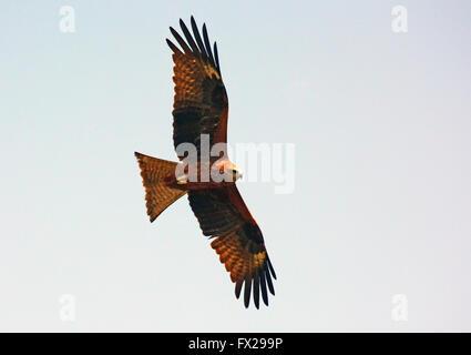 Milan noir, Milvus migrans, dans l'air