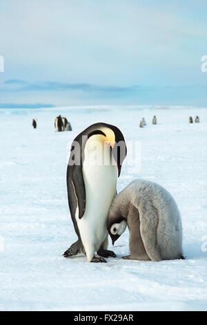 Manchot Empereur (Aptenodytes forsteri) et chick, mer de Weddell, l'Antarctique Banque D'Images