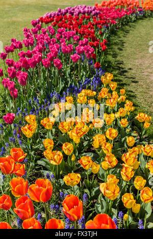 Tulip garden à Roozengaarde à Mount Vernon, Washington, USA