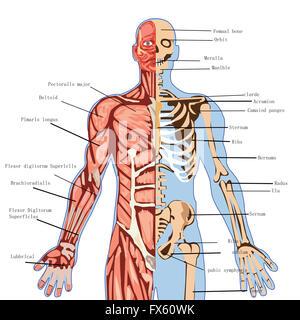 Corps, humain, anatomie, médecine, de la santé, de l'illustration, la médecine, la science, l'infographie, biologie, Banque D'Images