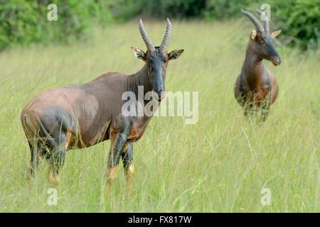 Deux Topi (Damaliscus lunatus jimela) debout sur la savane, looking at camera, Parc National de l'Akagera, au Rwanda Banque D'Images