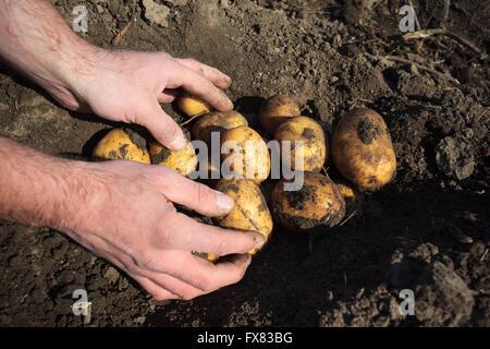 La récolte les mains grandes et produits frais bio de pommes de terre Banque D'Images