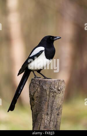 Close up profile de Magpie Pica Pica perché sur une souche d'arbre en bois Banque D'Images