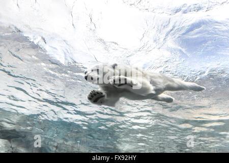 L'ours polaire à nager sous l'eau le voyage à Churchill, Zoo du Parc Assiniboine, Winnipeg, Manitoba, Canada. Banque D'Images