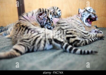 Harbin. 14 avr, 2016. Photo prise le 14 avril 2016 montre des tigres au Siberian Tiger Park à Harbin, au nord-est Banque D'Images