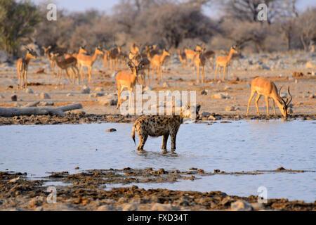 L'Hyène tachetée (Crocuta crocuta) avec troupeau d'impala à Klein Namutoni Waterhole dans Etosha National Park, Banque D'Images
