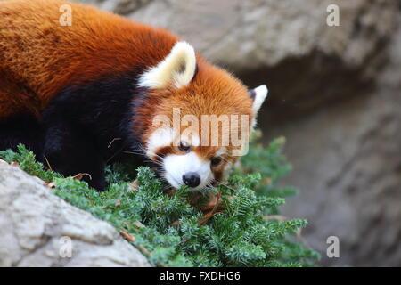 Ours panda rouge (Ailurus fulgens) Banque D'Images
