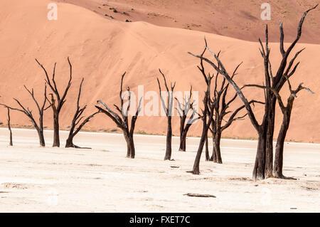 Camelthorn Arbres morts, Acacia erioloba, dans le marais salant de Dead Vlei, Désert du Namib Naukluft, Sossusvlei, Banque D'Images