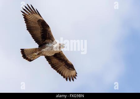 Aigle de Bonelli (Aquila fasciata), adulte, en vol, Tawi Atayr, Dhofar, Oman Banque D'Images