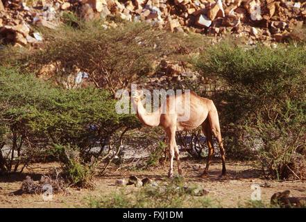 Dromadaire fourrages pour l'alimentation dans collines près de Bishah, Royaume d'Arabie Saoudite Banque D'Images