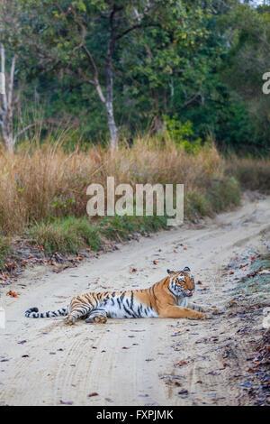 Bijrani Tigresse sur la voie de la jungle à Jim Corbett National Park, Inde. ( Panthera tigris ) Banque D'Images