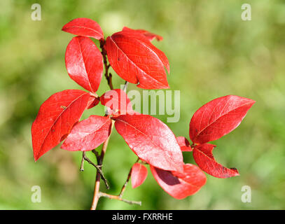 L'automne les feuilles rouges d'un bleuet en corymbe du Nord, Vaccinium corymbosum Banque D'Images