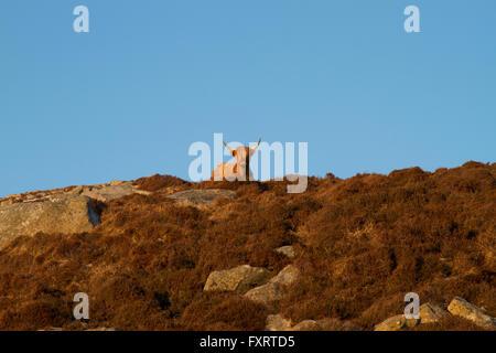 Vache Highland, Outer Hebrides Banque D'Images