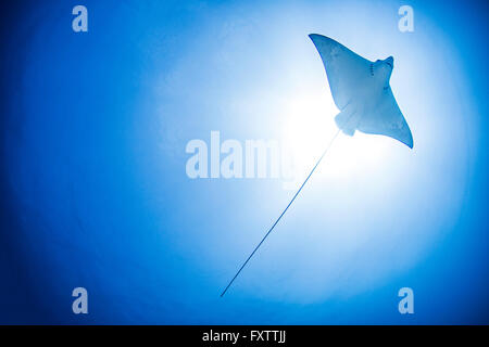 Underwater low angle view of Manta Ray, Cancun, Mexique Banque D'Images